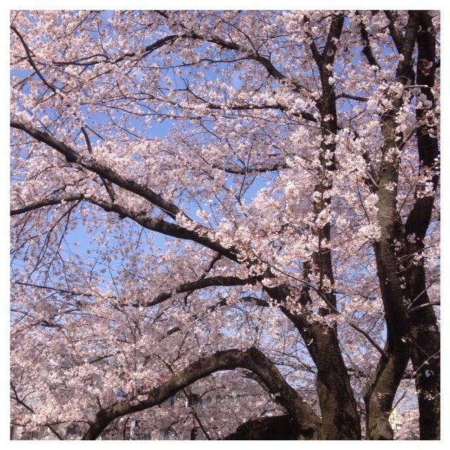 大和の千本桜